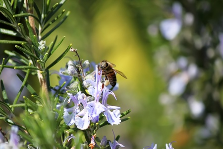 rosemary flower: Spring photo of rosemary flowers and bee