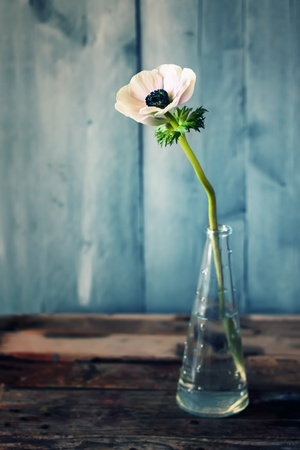 Cute photo of anemone flower  in vase photo
