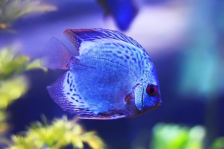 Beautiful photo of discus in aquarium Stock Photo - 19559205