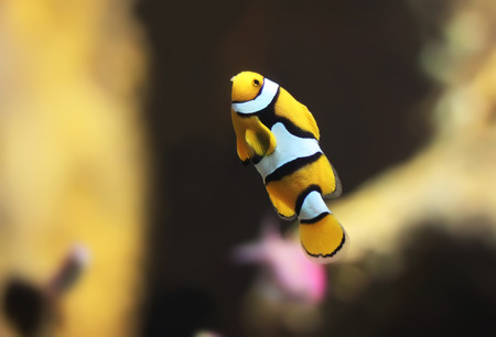 clown fish in aquarium Stock Photo - 22485366