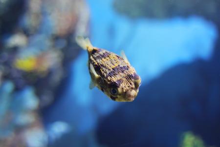 porcupinefish in tank photo