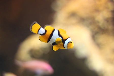 clown fish in aquarium Stock Photo - 22705490