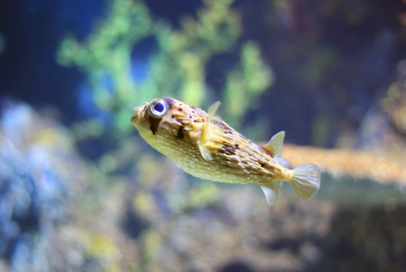 Photo of porcupinefish in tank photo