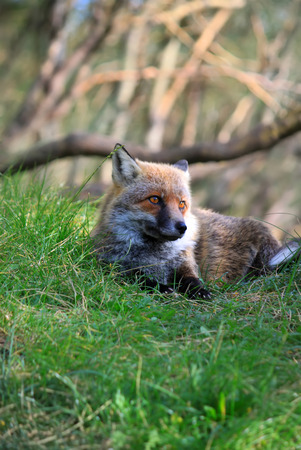 canid: This is photo of fox on Etna, Sicily Stock Photo