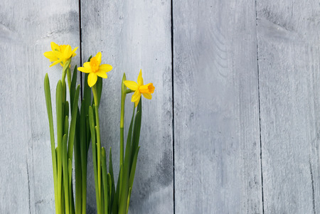 Spring cute photo with yellow daffodils  photo