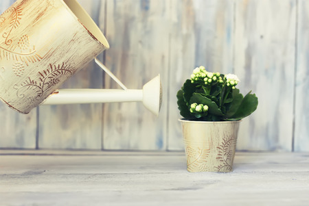 can: Photo of white kalanchoe flower and watering can
