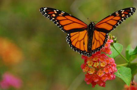 Monarch Butterfly feeding on a lantana flower photo