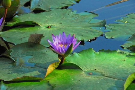 lavender coloured: Lavender coloured lilly bloom amidst vibrant lily pads