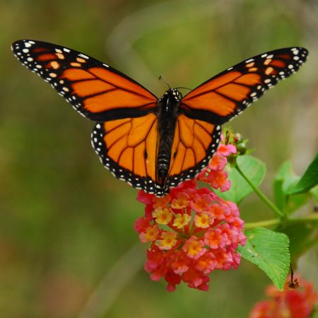 animal vein: Monarch butterfly feeding on a lantana flower Stock Photo
