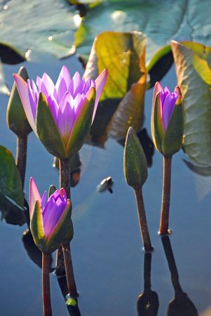 lavender coloured: Lavender coloured waterlily flowers in bloom Stock Photo