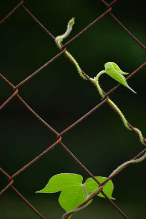 barbed wire frame: Vine on barbed wire