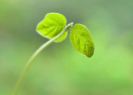 adzuki bean: Adzuki bean seedlings