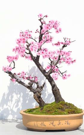 Flower tree bonsai