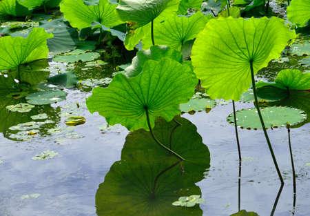 lotus leaf: Lotus leaf reflection