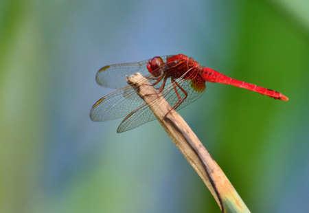bionics: Red Dragonfly
