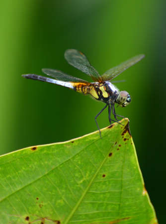 lithe: Green leaf and Dragonfly Stock Photo
