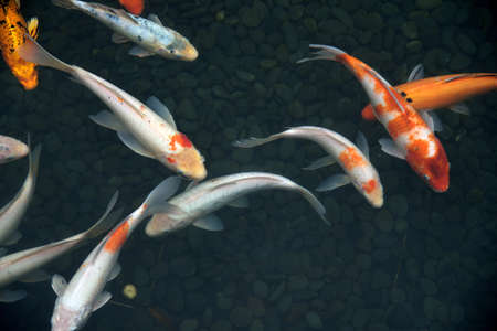 group of fish: a group fish swimming in the water