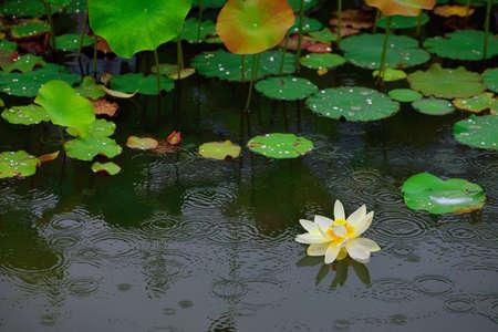 White lotus in the rain pond