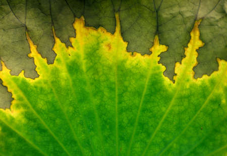 A withered lotus leaf feature