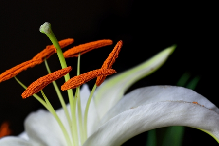 white Lilium close up