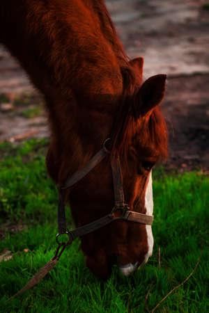 Brown horse grazing at sunset, portrait in profile, blurred image, selective focus