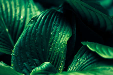 Dark green mysterious spring natural background with big wet rainy leaves, outdoor nature, soft focus, partially blurred image