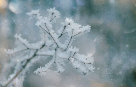 Branches under snow in hoarfrost, winter blurred natural background with bokeh, copy space