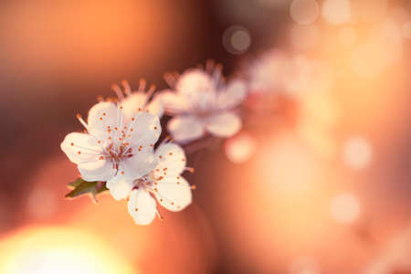 Flowering apricot, beatiful spring, flowers natural colorful background, blurred image, space for text, selective focus