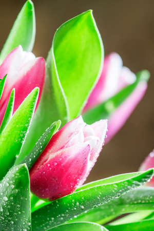 Bouquet of beautiful pink and white tulips with dew drops, selective focus, shallow depth of field 版權商用圖片
