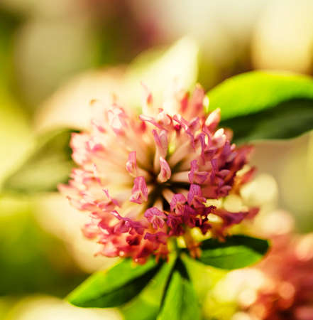 Flowers of pink clovers, natural summer background, blurred image, shallow depth of field