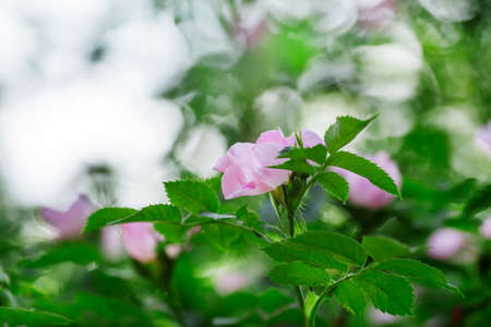 Spring green natural background with pink flowers of wild rose, blurred image, shallow depth of field