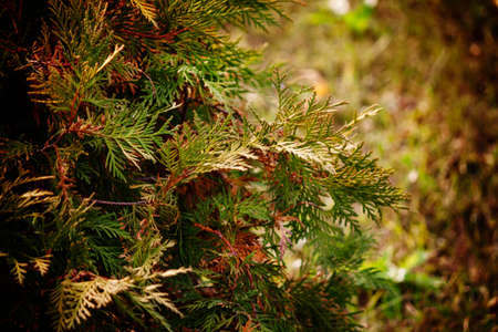 Green arborvitae branches of a coniferous tree, blurred natural background, selective focus Zdjęcie Seryjne