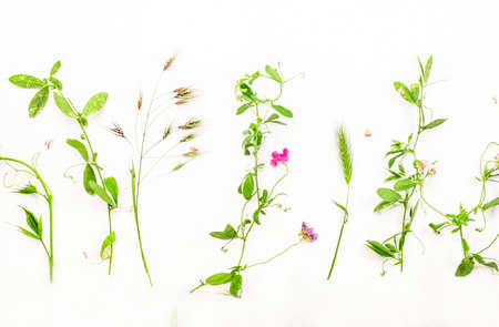 Various wild meadow green herbs on white background top view, flat lay, banner. Border of bright meadow herbs and flowers Reklamní fotografie