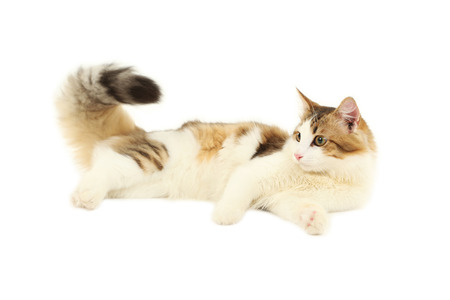 longhaired: Beautiful cat isolated on white background
