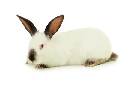 White rabbit isolated on white photo