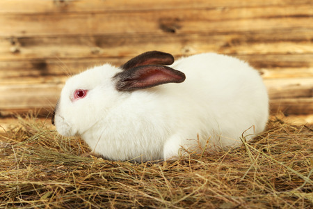 White rabbit in hay on brown background photo