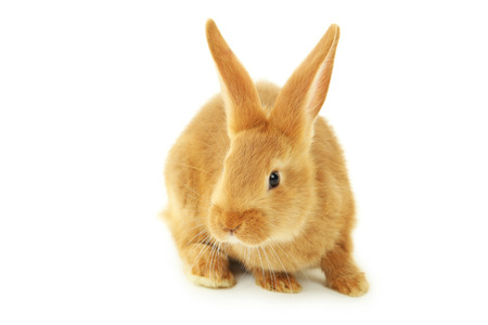 intrigued: Young red rabbit isolated on white Stock Photo
