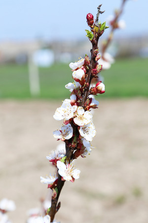 apricot tree: White apricot tree flowers on branch