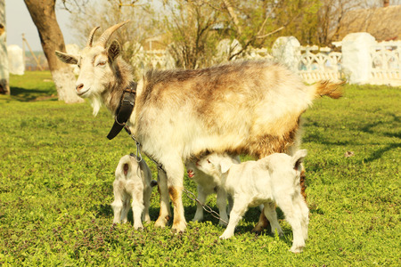 mini farm: Young goatling with mother outdoors
