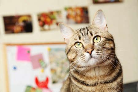 kotów: Piękne krótkie włosy kota Zdjęcie Seryjne