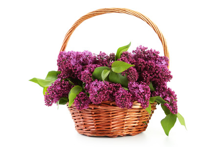 lilac: Purple lilac flowers in basket isolated on white