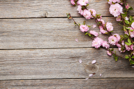 pink cherry: Spring flowering branch on grey wooden background