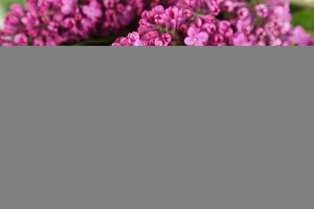 purple lilac: Purple lilac flowers background