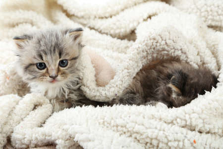 mewing: Small kittens on the plaid