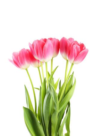 tulipan: Pink tulipany na białym tle Zdjęcie Seryjne