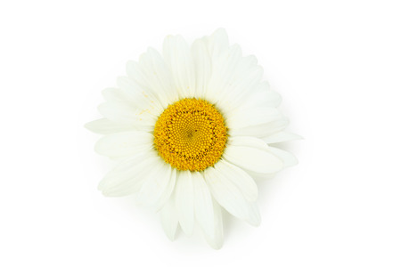chamomile flower: Chamomile flower isolated on a white