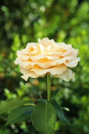 rosas naranjas: rosas anaranjadas hermosas en el jardín