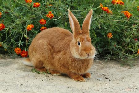 conejo: Hermoso conejo rojo, de cerca
