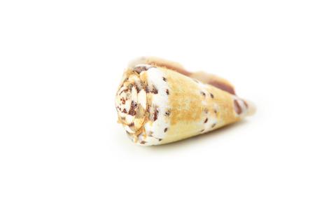 mollusca: Sea shell isolated on white