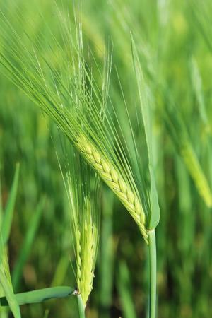 green wheat: Green wheat field, outdoors Stock Photo